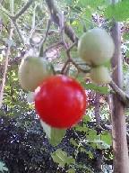 tomato[1].jpg